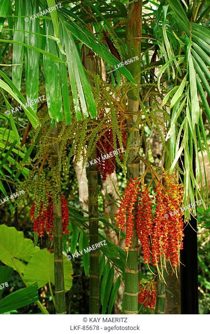 The fruit of a sugar palm, Hotel Pimalai, Ao Kantiang, Ko Lanta, Thailand