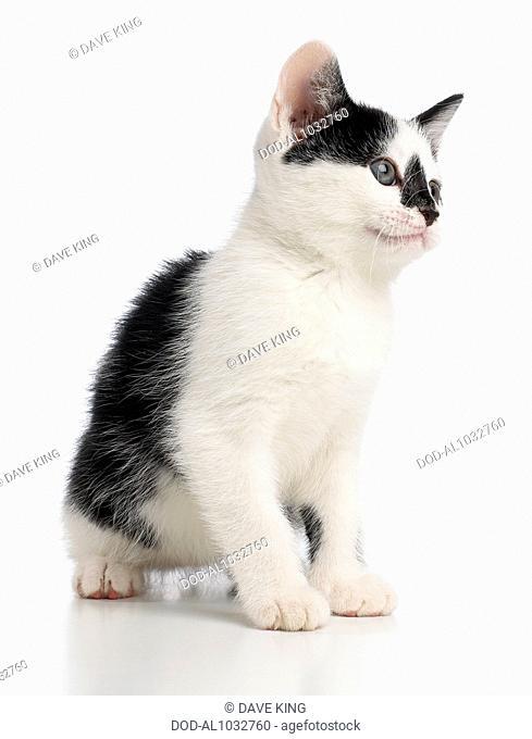Black and white kitten, 8-week-old