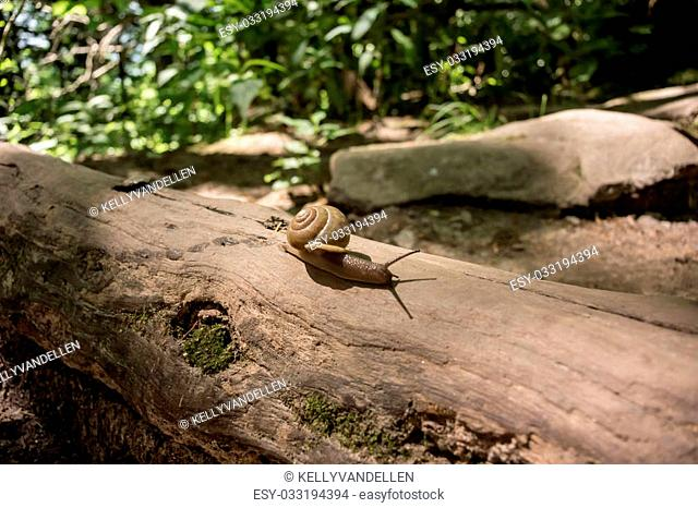 A snail creeps across a log in the forest