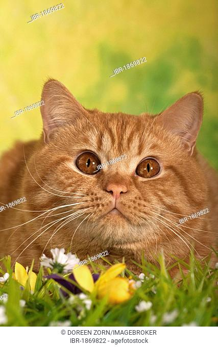 British Shorthair cat, ginger tom cat, portrait