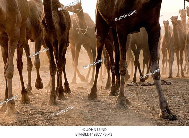 Group of camels standing together