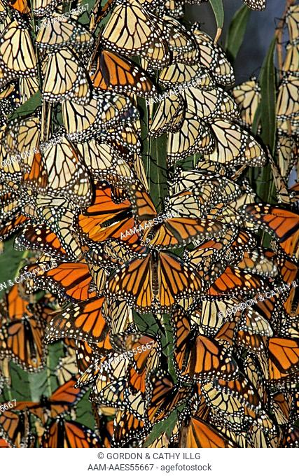 Monarch butterflies (Danaus plexippus) clustering for warmth on eucalyptus trees, Pismo Beach, CA
