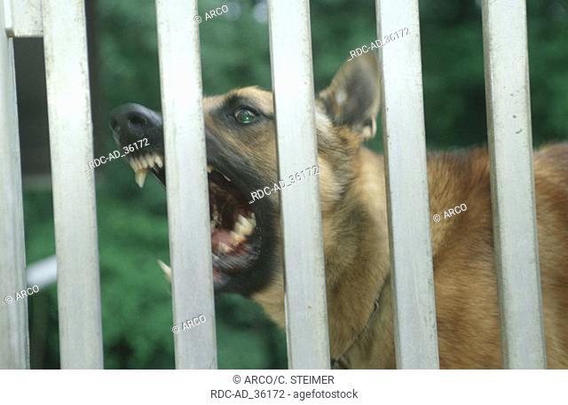 Aggressive Belgian Malinois behind fence