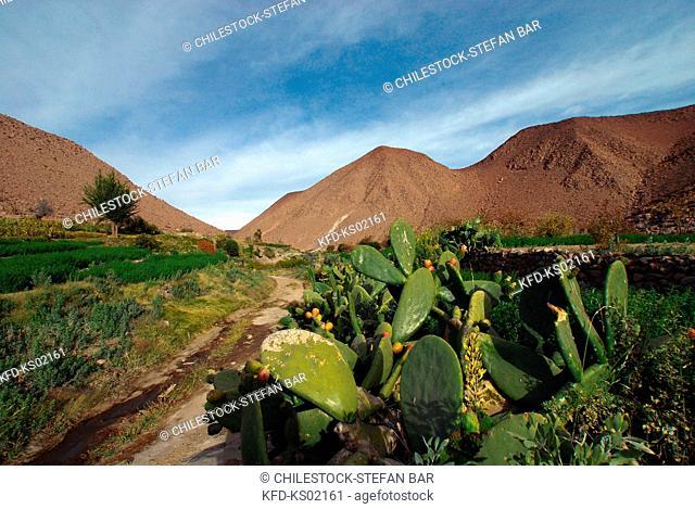 Chile, Region of Tarapaca, Cultivations of Tunas, Cactus Pears, Nama Valley