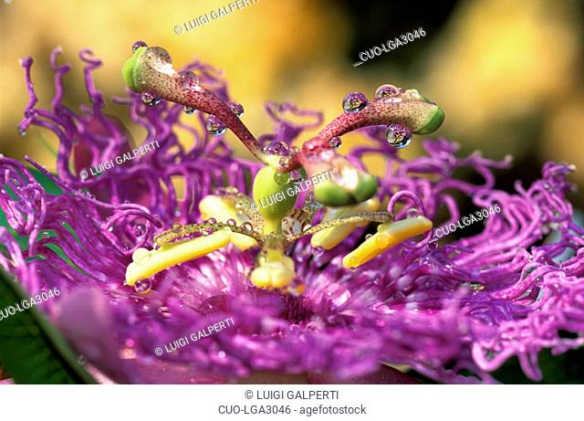 Drops on passionflower, Italy