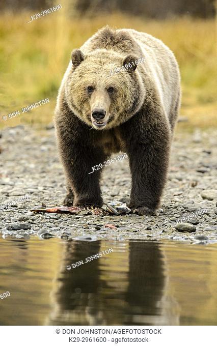 Grizzly bear (Ursus arctos)- Walking river shoreline in search of sockeye salmon, Chilcotin Wilderness, BC Interior, Canada