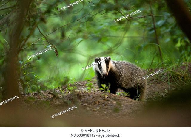 European Badger (Meles meles) cub standing in deciduous forest, Netherlands, Noord-Brabant, Tongelaar
