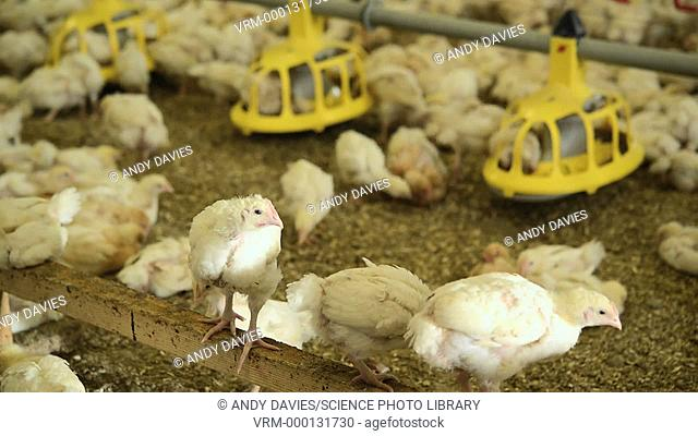 Hens feeding in a barn. Filmed at Capestone organic poultry farm, Pembrokeshire, Wales