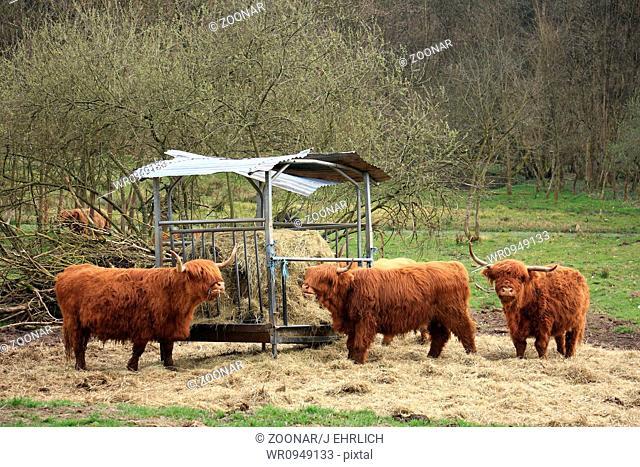 Eating highland cattles