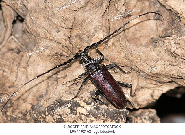 Male Great Capricorn beetle Cerambyx cerdo a Cerambycidae longhorn beetle spotted at night  Larvae usually feed on dead trunks of oaks and other deciduous trees