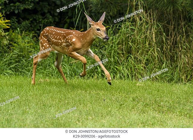 White-tailed deer (Odocoileus virginianus). Curious fawn visiting a rural backyard, Greater Sudbury, Ontario, Canada