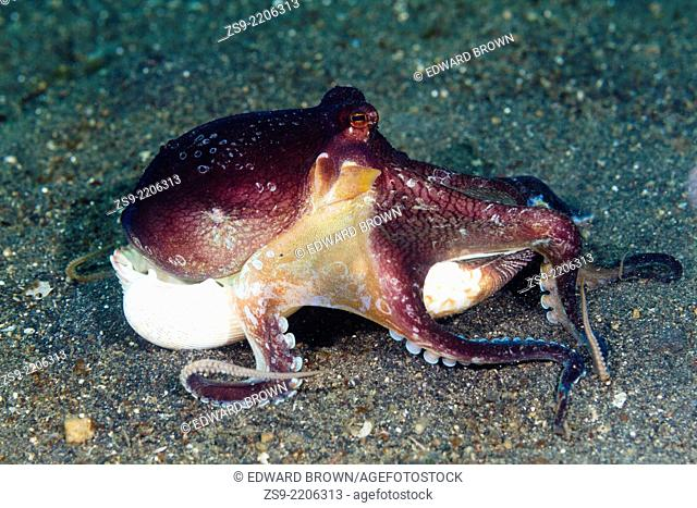 Coconut octopus (Amphioctopus marginatus) collecting shells, Lembeh Strait, Indonesia