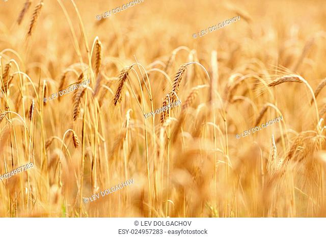 nature, summer, harvest and agriculture concept - close up of cereal field with spikelets of ripe rye or wheat