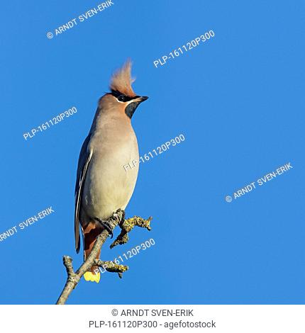 Bohemian waxwing (Bombycilla garrulus) with erect crest feathers perched in tree in autumn