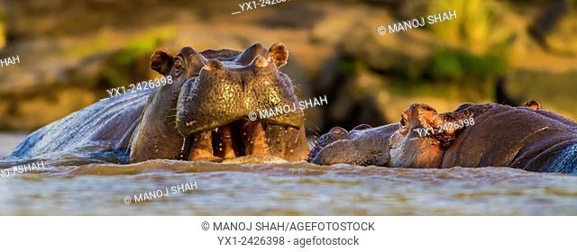 Eye level close up of Hippos in water. Masai Mara National Reserve, Kenya