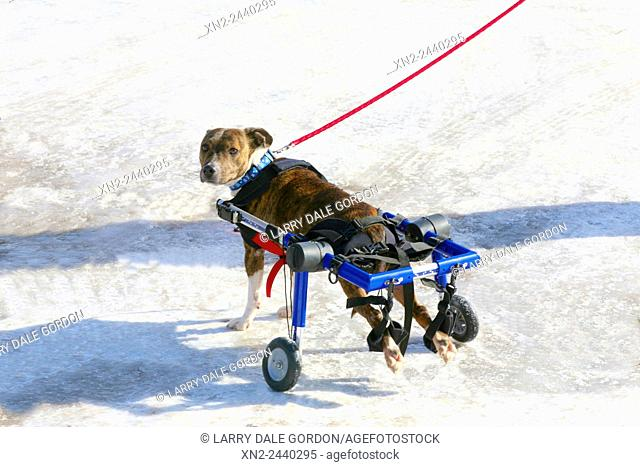 Disabled Shelter Dog with a Doggie Wheelchair