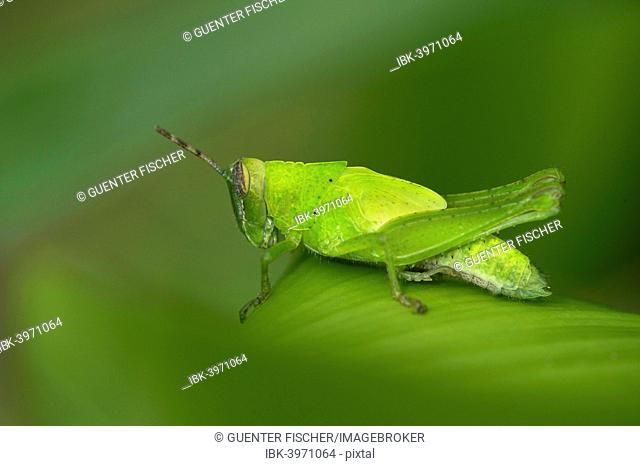 Katydid species (Tettigoniidae spec.), male, Tambopata Nature Reserve, Madre de Dios region, Peru