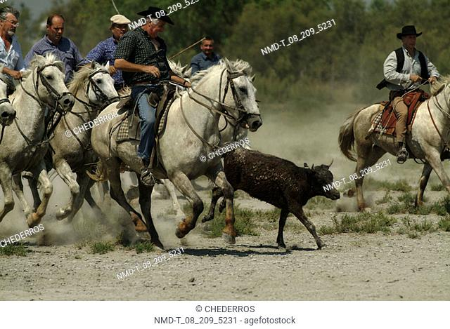 Cattle ranchers herding a calf, Provence, France