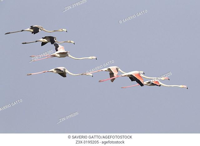 Greater Flamingo (Phoenicopterus roseus), flock in flight with adults and juveniles
