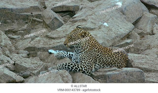 LEOPARD YAWNING ON ROCKS; MAASAI MARA KENYA, AFRICA; 04/09/2016
