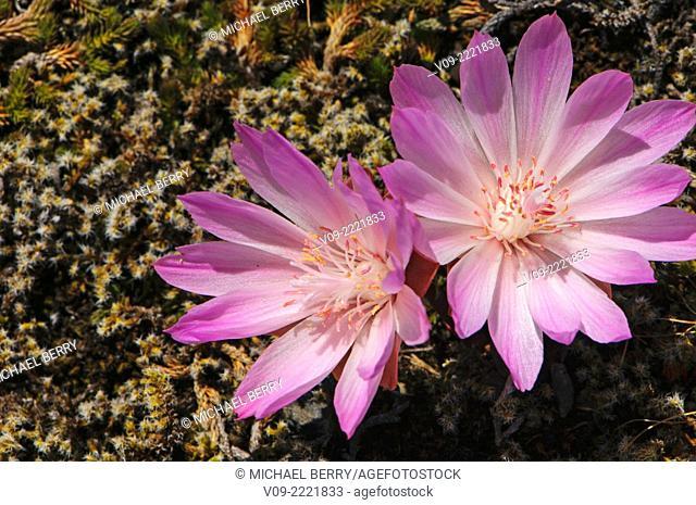 Bitter Root Wildflower