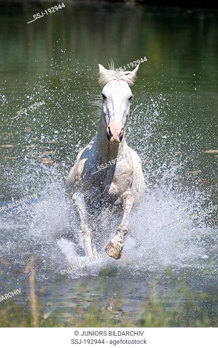 Criollo. Gray gelding galloping through a lake. Italy