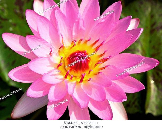 Waterlily or Lotus Flower in pond