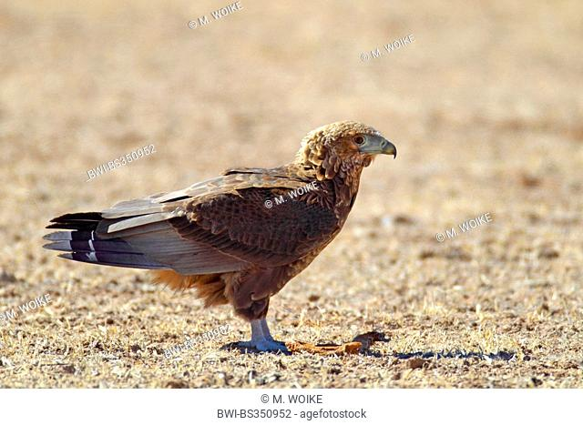 Bateleur, Bateleur eagle (Terathopius ecaudatus), immature bateleur standing on the ground, South Africa, Kgalagadi Transfrontier National Park