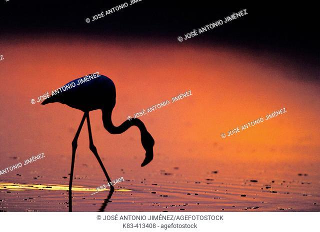 Greater Flamingo (Phoenicopterus ruber). Fuente de Piedra Lagoon. Málaga province. Andalusia. Spain
