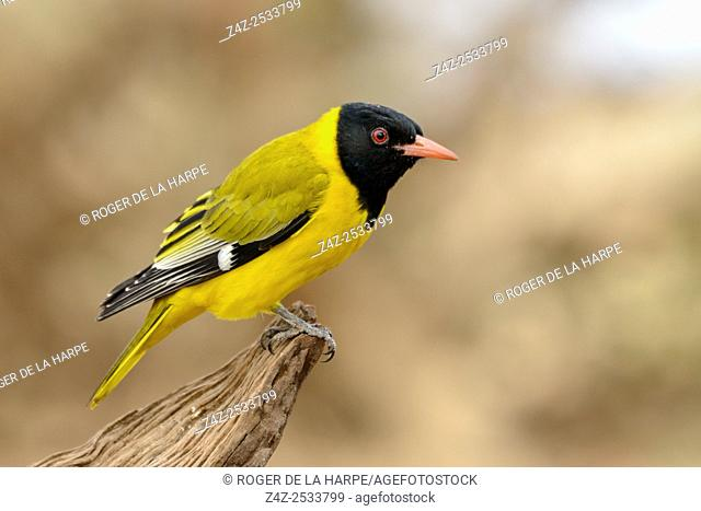 Black-headed oriole (Oriolus larvatus). Mashatu Game Reserve. Northern Tuli Game Reserve. Botswana
