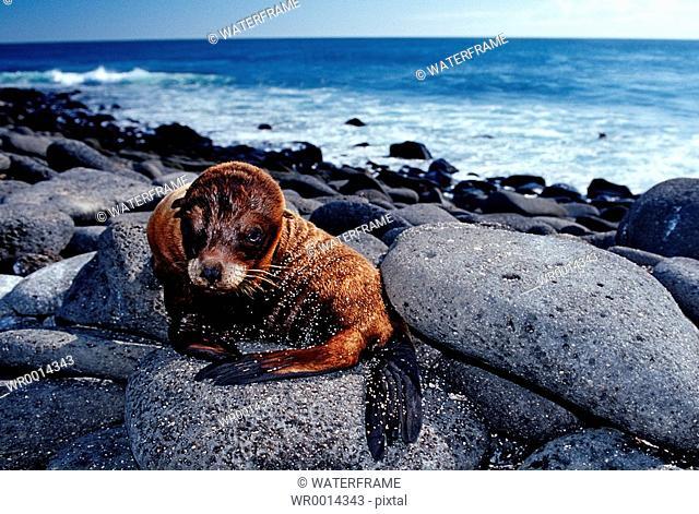 Galapagos Sea Lion, Zalophos wollebaeki, Arctocephalus galapagoensis, Pacific Ocean, Galapagos, Ecuador