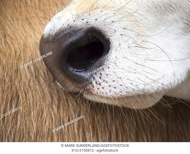 Close up of a Jersey calf nose against the flank of another calf