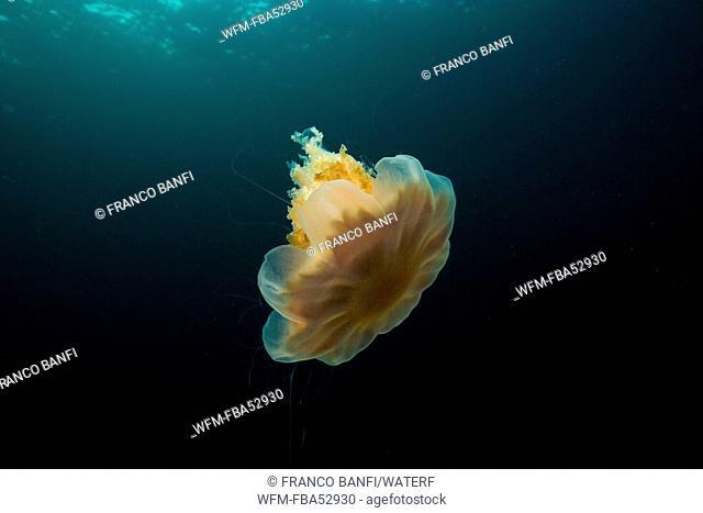 Lions Mane Jellyfish, Cyanea capillata, Solvaer, Vestfjord, Lofoten, Norway