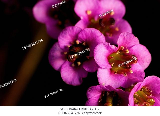 spring flower bergenia. outdoor shot