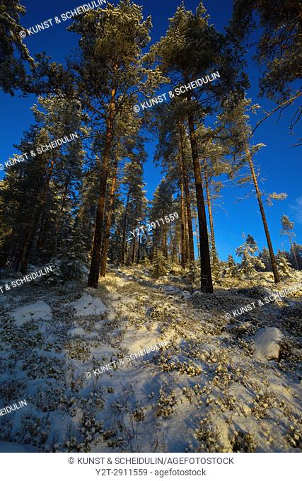 The low winter sun shines through tree trunks in a wintry forest. Västernorrland, Sweden