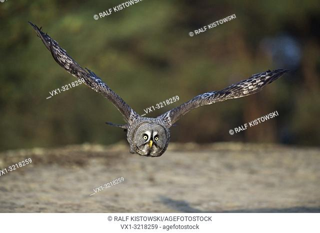 Great Grey Owl / Bartkauz ( Strix nebulosa ) in flight, close above the ground, frontal shot, Europe.