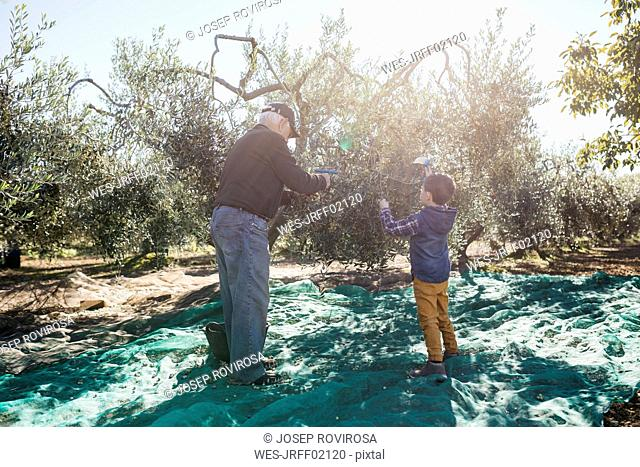 Senior man and grandson harvesting olives together in orchard