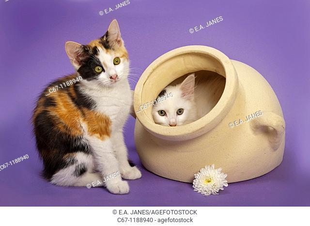 Tortoishell Kittens in White Pot