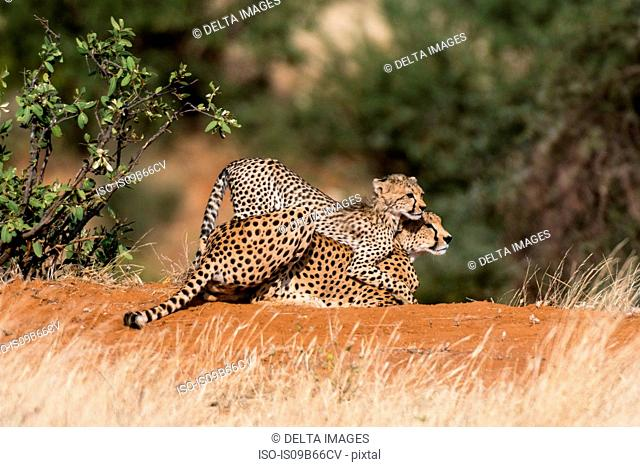 A Cheetah cub (Acinonyx jubatus), playing with its mother, Samburu National Reserve, Kenya, Africa
