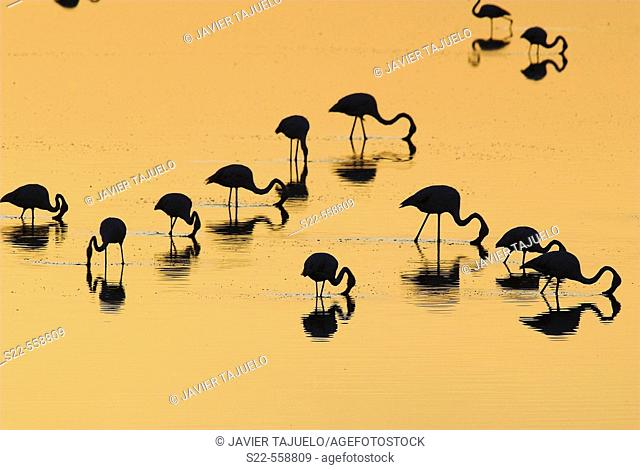 Greater Flamingo, Phoenicopterus ruber, Laguna Larga de Villacañas, Toledo, Castilla La Mancha, Spain