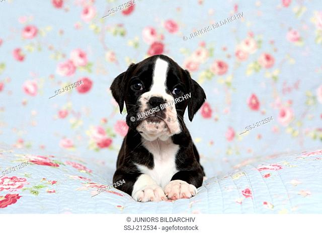 German Boxer. Puppy (6 weeks old) lying on a blue blanket with rose flowers print. Germany
