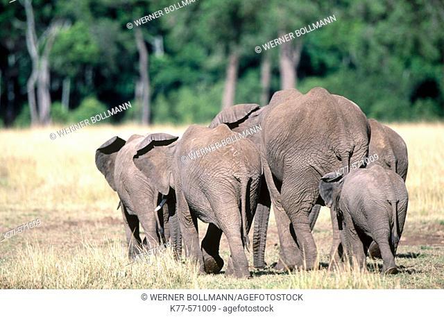 African Elephants (Loxodonta africana). Masai Mara, Kenya