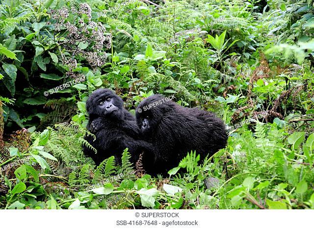 Rwanda, Volcano National Park, Young Mountain Gorillas Gorilla Gorilla Beringei, Siblings