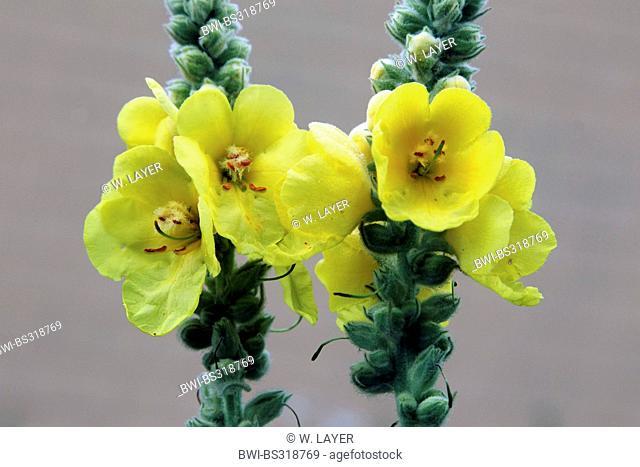 dense-flowered mullein, dense mullein (Verbascum densiflorum), inflorescences, Germany