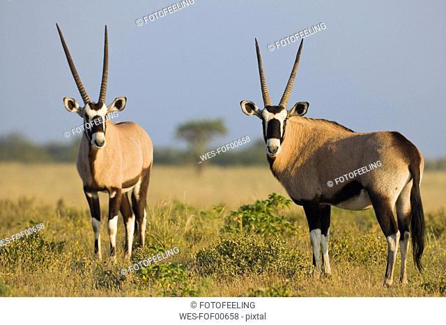 Africa, Botswana, Two gemsboks Oryx gazella