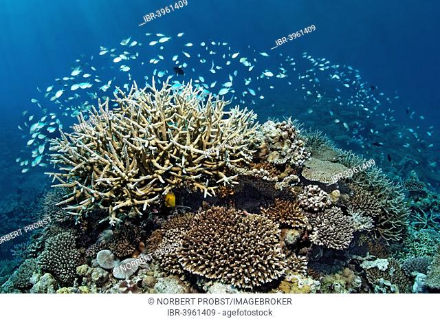 Coral reef with various Acropora Corals (Acropora sp.) and a school of Green Chromis or Blue-green Chromis (Chromis viridis), Indian Ocean, Embudu