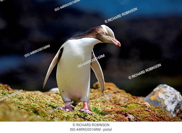 Yellow eyed penguin walking on rocks