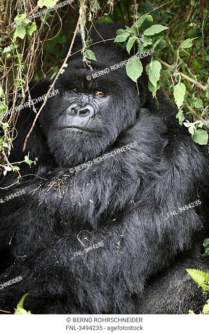 Mountain gorilla, Gorilla gorilla beringei, Virunga National Parkm Ruanda, East Africa, Africa