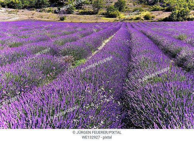 A sea of Lavender, Lavandula angustifolia, Provence, France
