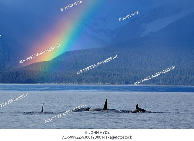 A group of Orca surface in Lynn Canal with rainshowers and a rainbow beyond, Coastal Range, Inside Passage, Southeast Alaska, Summer. Composite